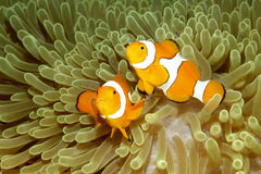 Two Clown Anemonefishes. Two Clown Anemonefish, Amphiprion percula, swimming in their sea anemone Stock Images