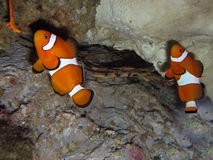 Two clown fishes Stock Photography