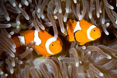 Two Clownfish. Two clown anemonefish swimming in the tentacles of their anemone, underwater Royalty Free Stock Photo