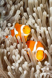 Two Clownfish Stock Photo