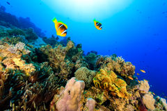 Two clownfish swiming over a tropical coral reef. Pair of Red Sea Clownfish swimming over a brightly colored coral reef royalty free stock image