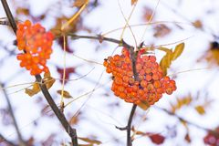 Two clusters of rowan on a tree on a bright day stock images