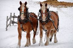 Two Clydesdale horses and the winter snow stock photos