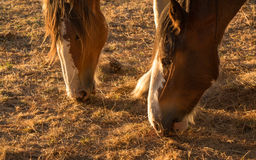 Droght Feeding Horses Royalty Free Stock Images