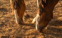 Droght Feeding Horses Royalty Free Stock Images