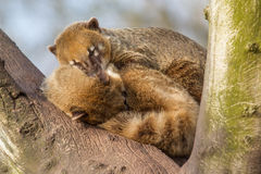 Two coatimundis are sleeping Royalty Free Stock Images