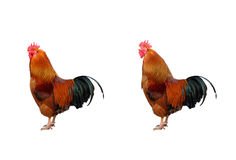 Two cock Stock Photo