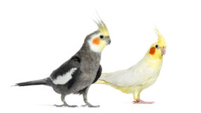 Two Cockatiel, isolated
