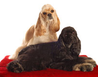 Two cocker spaniel dogs. Two american cocker spaniel dogs sitting on red bed isolated on white background Stock Photo