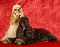 Two cocker spaniel dogs. Two american cocker spaniels on red background Stock Photos