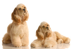 Two cocker spaniels Royalty Free Stock Images