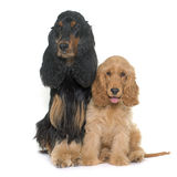 Two cocker spaniels Stock Photo
