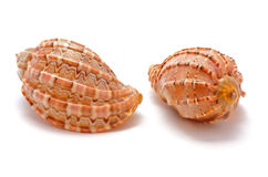 Two cockleshells. Which are on a white background Royalty Free Stock Images