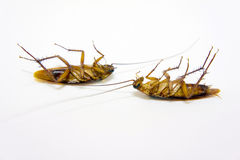 Two cockroach dead Royalty Free Stock Photos