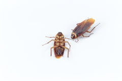 Two cockroach dead for a long time Stock Photography