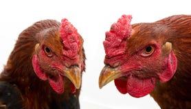 Cock portrait Stock Photo