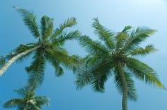 Two coco-trees Stock Photos