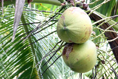 Two coconut. Royalty Free Stock Image