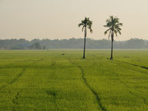 Two coconut in paddy rice. Royalty Free Stock Image