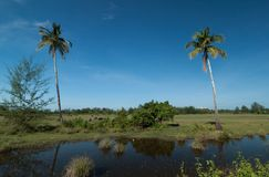 Two coconut palm and buffalo Royalty Free Stock Images