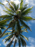 Two coconut palm trees Stock Photos