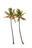 Two coconut palm trees Stock Images