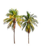 Two coconut palm trees Royalty Free Stock Photo
