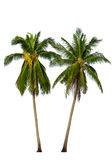 Two Coconut palm trees on white stock photos