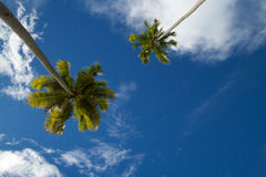 Two coconut palm tress against blue tropical sky Royalty Free Stock Photo