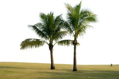 Two coconut trees stock photos