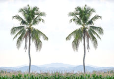 Two coconut trees in the middle of a corn field. Royalty Free Stock Photo