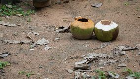 Two coconuts in the garden Stock Photos