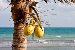 Two Coconuts with Sea in Background. A coconut palm tree in the tropics with a blue sea in the background Royalty Free Stock Photography