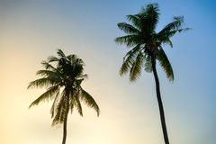 Two Coconuts tree background blue sky Stock Photos