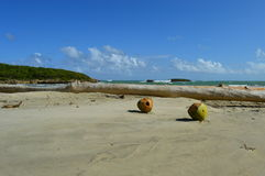 Two coconuts in tropical paradise Stock Images