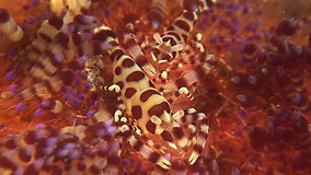 Two Coleman shrimps on a Sea Urchin. Two Coleman Shrimp sitting on a sea urchin stock video