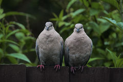 Two collared doves looking straight at the camera Royalty Free Stock Photos