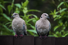 Two collared doves sitting on a dark coloured wooden garden fenc Royalty Free Stock Image