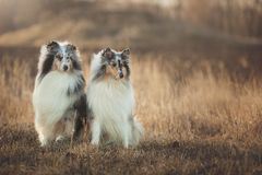 Two Collie dogs sitting in an autumn meadow at sunset royalty free stock image