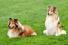 Two Collie Rough in a summer garden Royalty Free Stock Images