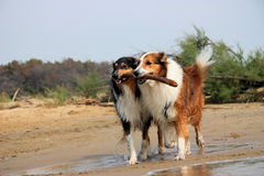 Two collies royalty free stock photo