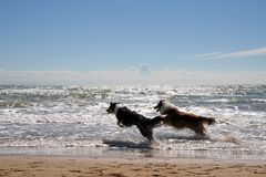 Two collies stock photography
