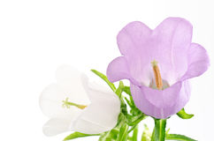 Two color of bell flowers Royalty Free Stock Photos