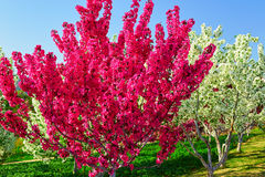 The two color flower trees Stock Photography