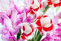 Red and white flowers. Two color gladiolus flowers of red and white in front of pink flowers Royalty Free Stock Photos