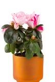 Two-color mini-azalea Royalty Free Stock Photo