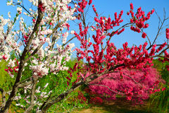The two color peach blossom Royalty Free Stock Images