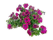 Two-color purple petunia. Stock Photo