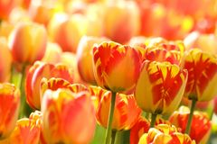 Two-color Tulips Royalty Free Stock Photography