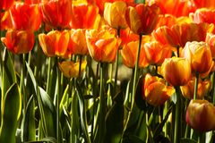 Two-color tulips Royalty Free Stock Images